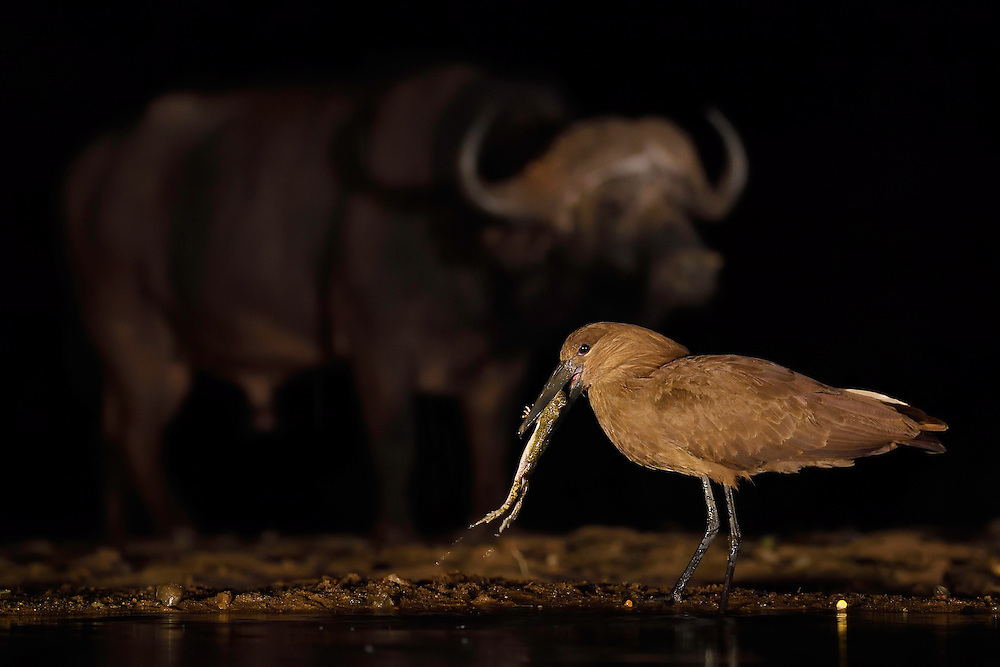 Hammerkop or Hammerhead stork, Scopus umbretta, eating a toad, with an African buffalo or Cape buffalo (Syncerus caffer) in the background, Zimanga Private Nature Reserve, KwaZulu Natal, South Africa