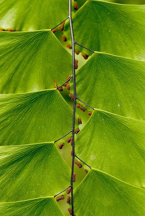 Close up of a variety of maidenhair fern, Longwood Gardens, Pennsylvania