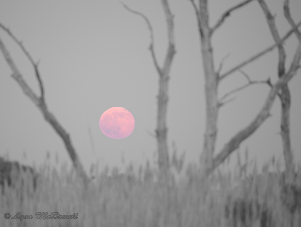 "Rising of the beautiful full ""Strawberry Moon"" on summer solstice 2016.  Bombay Hook NWR"
