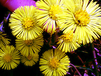 Macro shot of yellow coltsfoot flowers in spring.