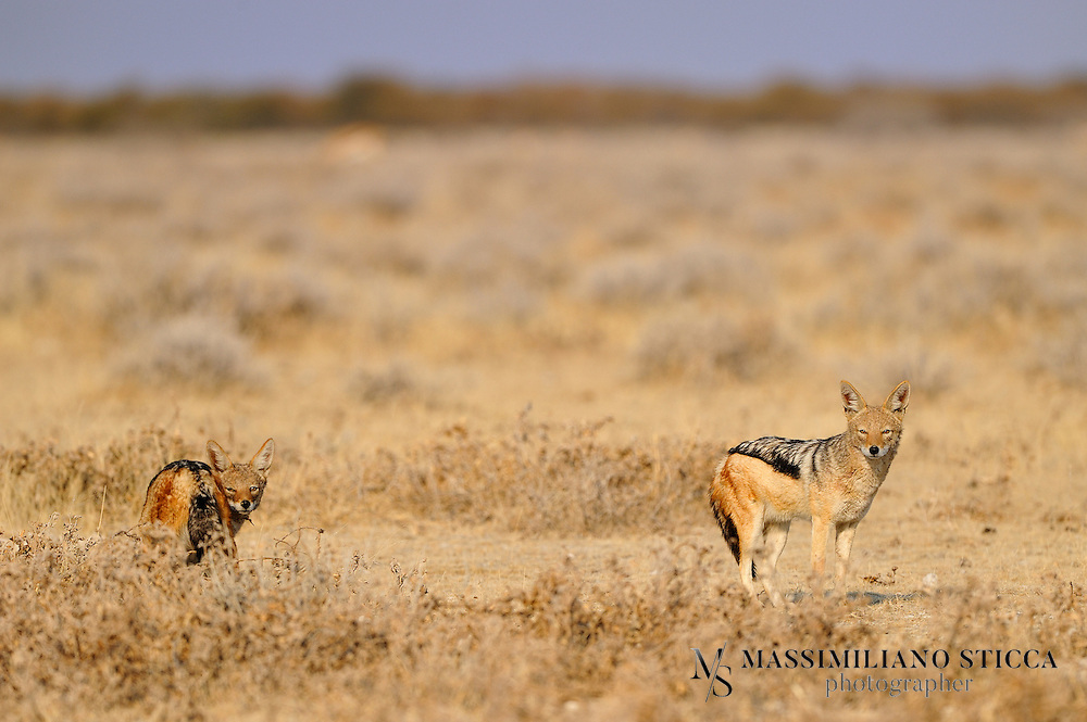 The black-backed jackal (Canis mesomelas), also known as the silver-backed or red jackal, is a species of jackal which inhabits two areas of the African continent separated by roughly 900 km. One region includes the southern-most tip of the continent, including South Africa, Namibia, Botswana, and Zimbabwe. The other area is along the eastern coastline, including Kenya, Somalia, Djibouti and Ethiopia. It is listed by the IUCN as least concern, due to its widespread range and adaptability, although it is still persecuted as a livestock predator and rabies vector. The fossil record indicates the species is the oldest extant member of the genus Canis. Although the most lightly built of jackals, it is the most aggressive, having been observed to singly kill animals many times its own size, and its intrapack relationships are more quarrelsome.