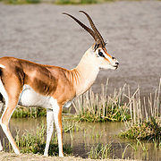 A male Thomson's gazelle at a watering hole at Ngorongoro Crater in the Ngorongoro Conservation Area, part of Tanzania's northern circuit of national parks and nature preserves.