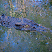 Freshwater crocodile, the Kimberly, Australia. Photo by Jen Klewitz
