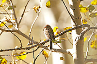 A Chipping Sparrow rests on the branch of an aspen tree in northern Utah.