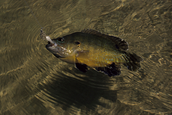 Stock photo of a yellow perch (Perca flavescens)being reeled in
