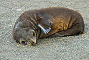 Baby weaner antarctic fur seal has an unusual blue fin.