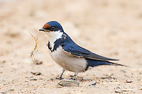 White-Throated Swallow carrying nesting material, De Hoop Nature Reserve, Overberg, Western Cape, South Africa,