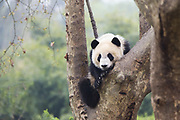 Giant Panda<br /> Ailuropoda melanoleuca<br /> Sub-adult in tree<br /> Chengdu Research Base of Giant Panda Breeding, Chengdu, China<br /> *captive