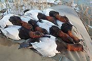 Canvasbacks, Aythya valisineria, male, from hunt on Lake St. Clair, Ontario, Canada