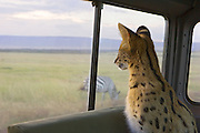 Serval<br /> Felis serval<br /> Six month old orphan kitten watching zebra through car window while on a game drive<br /> Tanzania