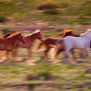 A band of running wild horses, Sandoval County, New Mexico