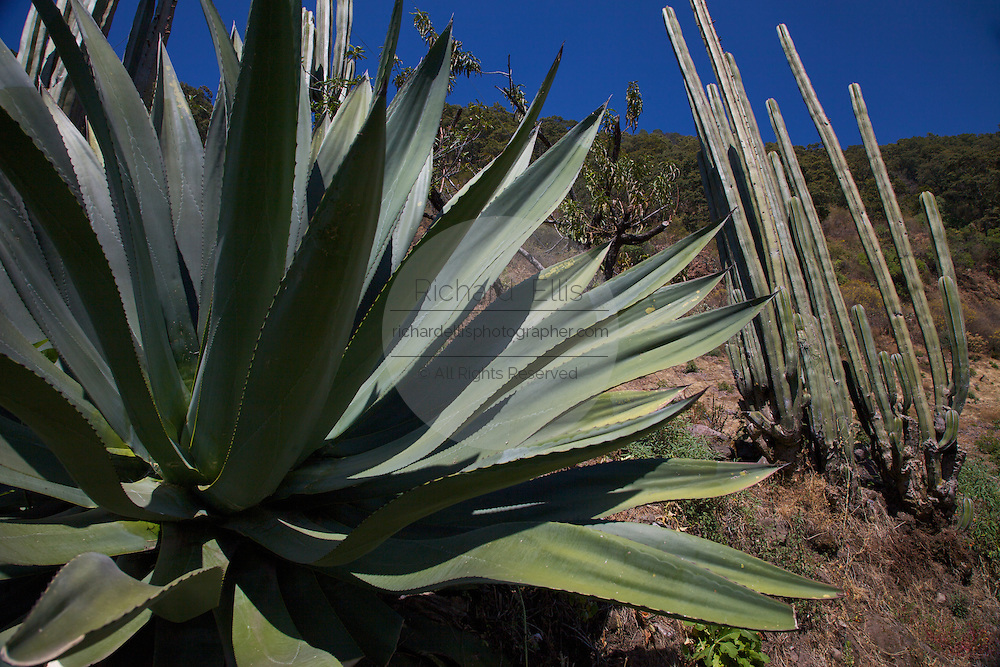 Giant century plant and cactus in the arid desert of Michoacan, Mexico.