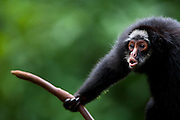 Parauapebas_PA, Brasil...Floresta Nacional dos Carajas. Macaco aranha preto (Ateles paniscus) em galho de arvore em Parauapebas, Para...Carajas National Forest. In this photo the Black Spider Monkey (Ateles paniscus) in tree branch in Parauapebas, Para...Foto: JOAO MARCOS ROSA / NITRO