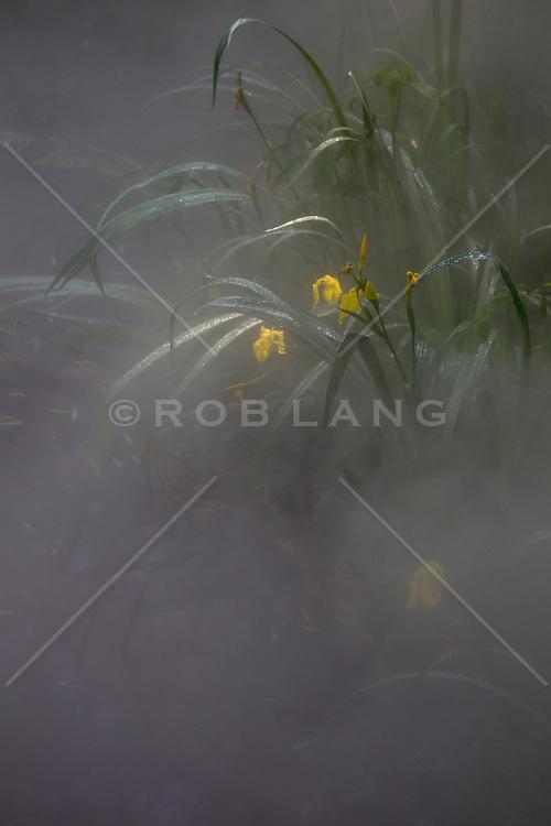 yellow iris in fog