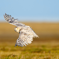 A female snowy owl is easy to recognized by its flecked feathres in comparission with pure whiteness of a male snowy owl. Alaskan Arctic.