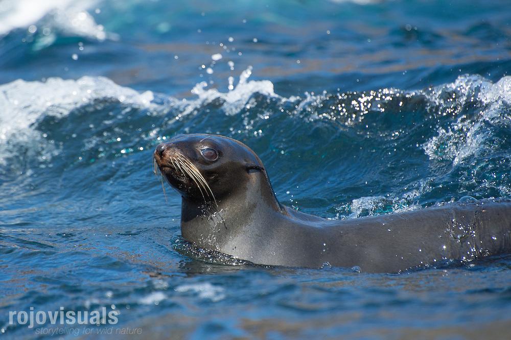 Guadalupe Fur Seal (Arctocephalus townsendii)<br /> Guadalupe Island, Pacific Ocean, Mexico