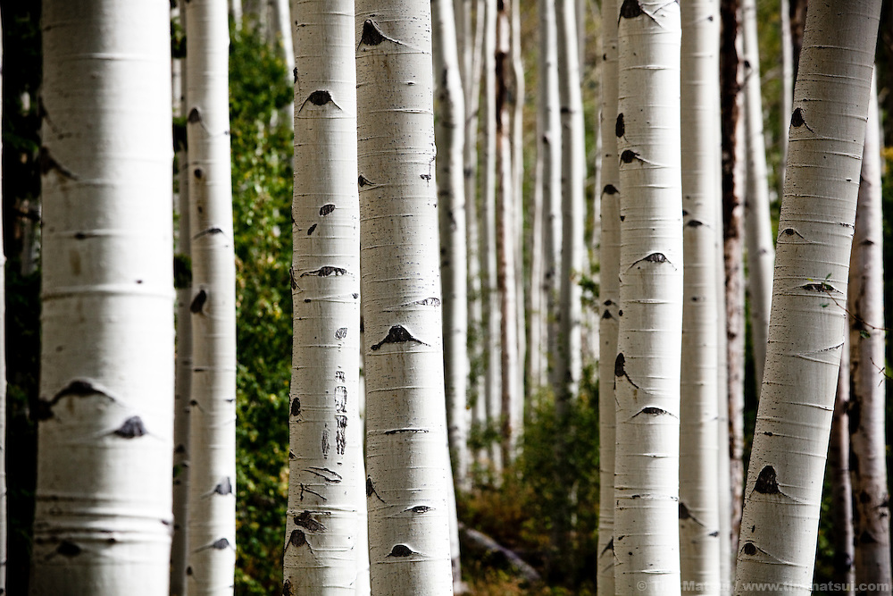 Aspen Trees in Colorado in the fall.