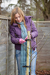 Planting a bare rooted apple tree. Tying to stake