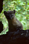 Pine Marten, Marten, Sequoia National Park, California, Sequoia