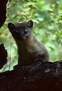 Pine Marten, Marten, Sequoia National Park, California, Sequoia