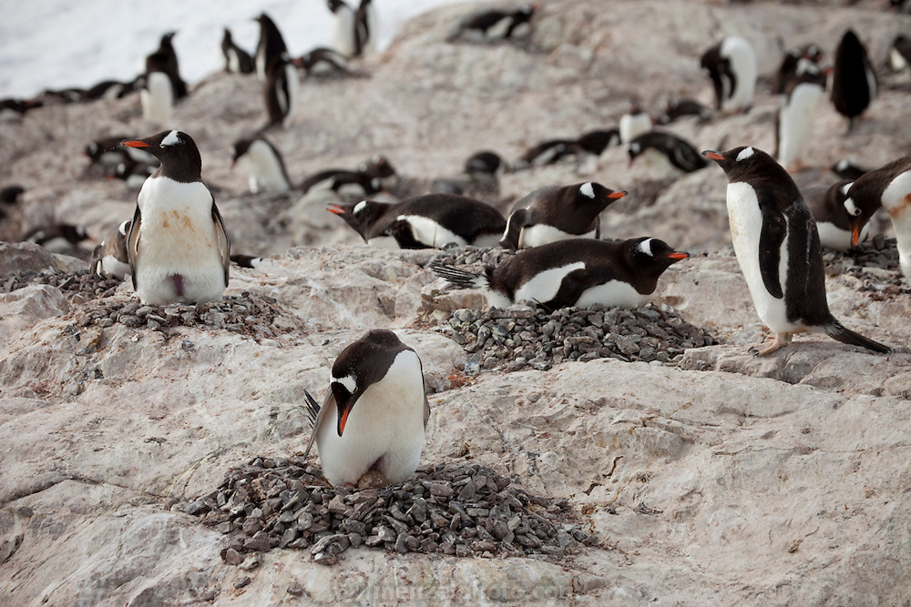Cuverville Island, Antarctic Peninsula.  Nesting pairs on the Gentoo penguin colony on the island tend their eggs and chicks. They have to be vigilant to ward off skua birds that try to eat the eggs and chicks..