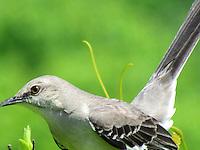 Ohio Mocking Bird. This was taken by Faith Swartz my daughter.