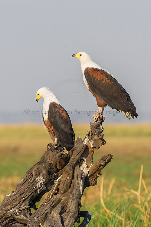 African Fish Eagle pair perched on a dead tree stump, Chobe River, Kasane, Botswana.