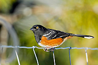 Spotted Towhee (Pipilo maculatus) on fence, Courtenay, Vancouver Island, Canada