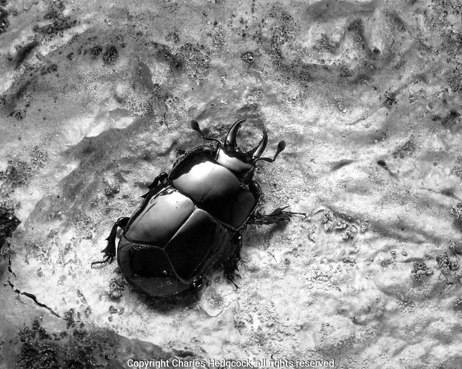 Hister beetle, Hololepta yucateca, selenium toned gelatin silver print