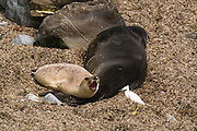 Northern Elephant Seals  and egret, Piedras Blancas Elephant Seal Rookery, San Simeon, California USA