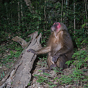 Stump-tailed macaque (Macaca arctoides) in Kaeng Krachan National Park, Thailand.