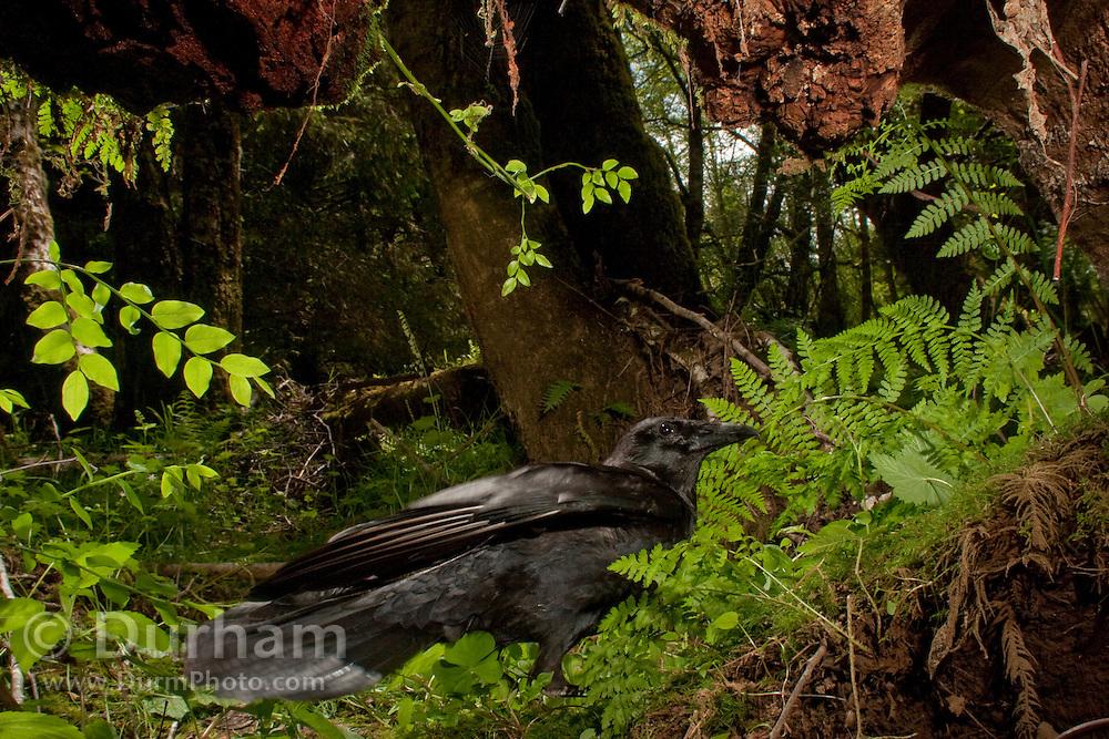 An amercian crow (Corvus brachyrhynchos) triggers a motion sensing camera in the North Coast Land Coservancy Circle Creek Preserve, Oregon.
