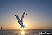 white tern or fairy tern, Gygis alba rothschildi, at sunrise, Sand Island, Midway, Atoll, Midway Atoll National Wildlife Refuge, Papahanaumokuakea Marine National Monument, Northwest Hawaiian Islands,  ( Central North Pacific Ocean )