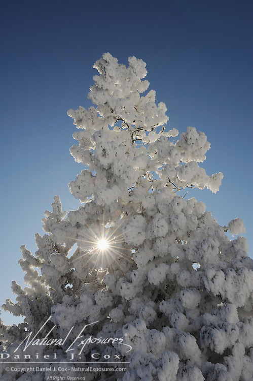 Frost-covered tree in the Midway Geyser Basin. Yellowstone National Park, Wyoming