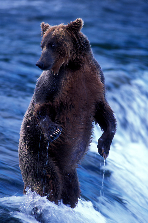 USA, Alaska, Katmai National Park, Grizzly Bear (Ursus arctos) stands erect atop Brooks Falls on summer evening