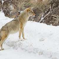 Coyote (Canis latrans) in winter, Lamar Valley, Yellowstone National Park, Wyoming