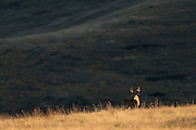 The last light of the day hits a grazing whitetail buck, Western Montana