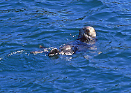 Sea Otter, having some lunch,  in Cooks Inlet.  Image taken from fishing boat out of Homer, Alaska,  at the tip of the Kenai Peninsula