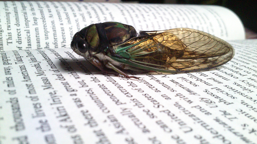 USA,Vereinigte Staaten,Florida, Eine Zikade - Auchenorrhyncha = Cicadina - ist auf einer Doppelseite eines aufgeschlagenen Buches  mit englischsprachigem Text gelandet  |  USA, Florida - Cicada  alternatively spelled as cicala or cicale  landed on an open  book page  |