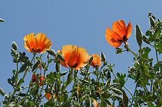 Papaveraceae, Papaverfamilie,