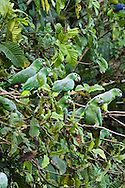 Mealy Amazon, Amazona farinosa, in flight. Parrot Lick, Napo Wildlife Center, Ecuador
