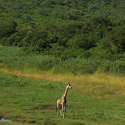 Giraffe at the Hluhluwe Umfolozi game reserve.  Northern KwaZulu Natal, South Africa