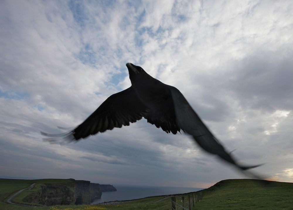 Raven (Corvus corax) against sky Cliffs of Moher, Ireland