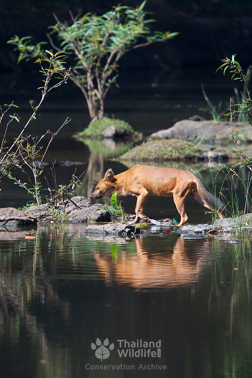 The endangered Asian Wild Dog or Dhole (Cuon alpinus) at Khao Yai National Park, Thailand.