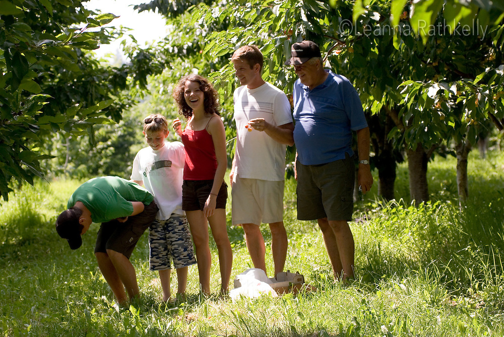 Family enjoys the cherries as they ripen, in an orchard in Okanagan Centre, BC Canada.