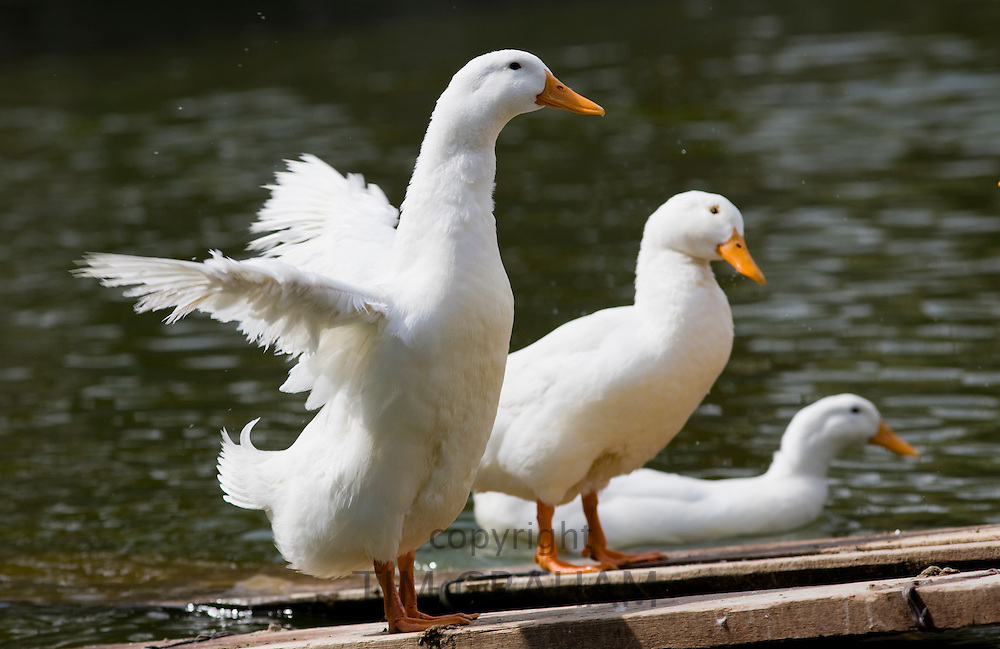 Peking ducks in Beijing, China. Peking duck is a speciality food that is world famous.