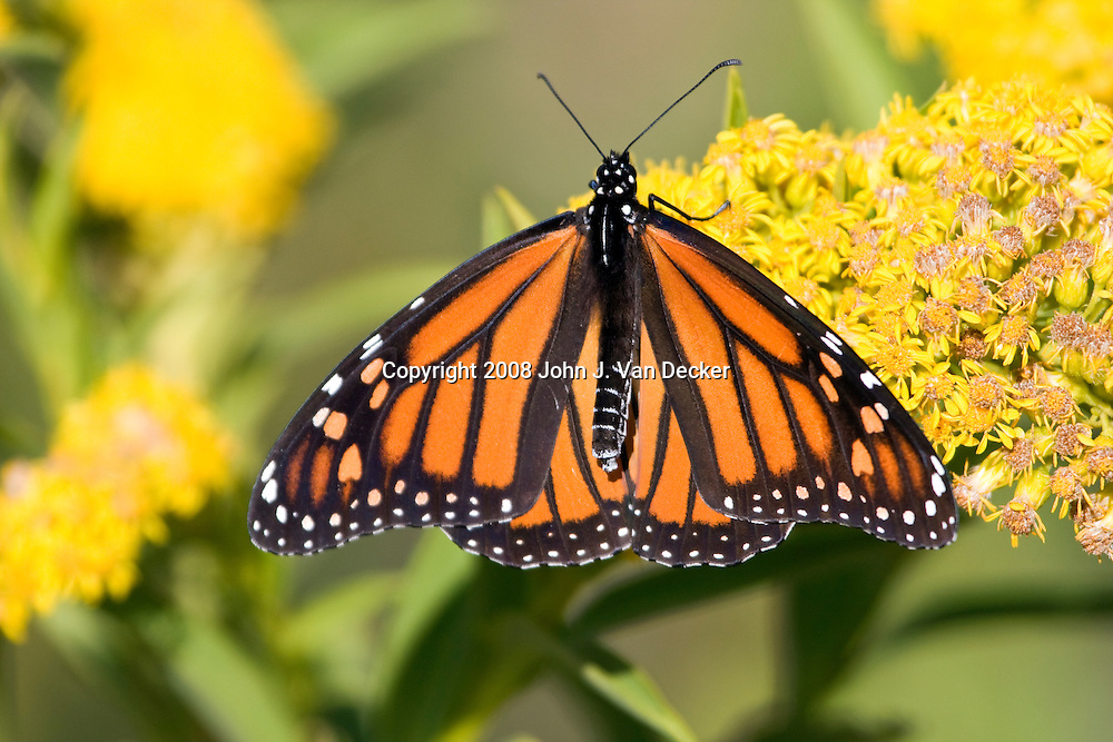Monarch Butterfly on Seaside Goldenrod