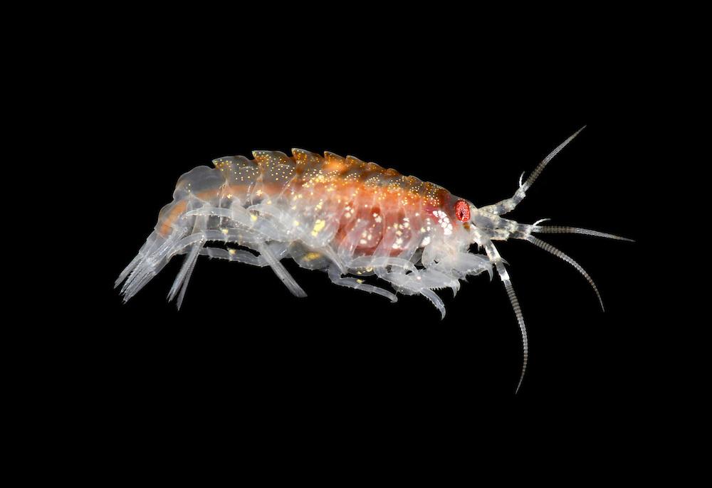 gammarellus homari