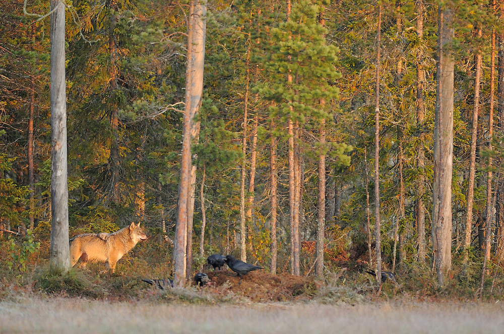 Eurasian wolf, Canis lupus and Raven, Corvus corax in Kuhmo, Finland..