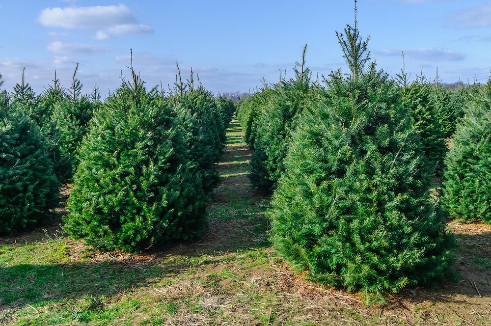 Christmas tree farm, Cutchogue, NY